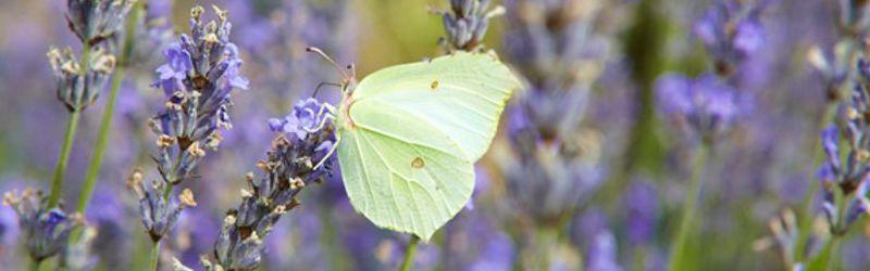 Buterflies 1a