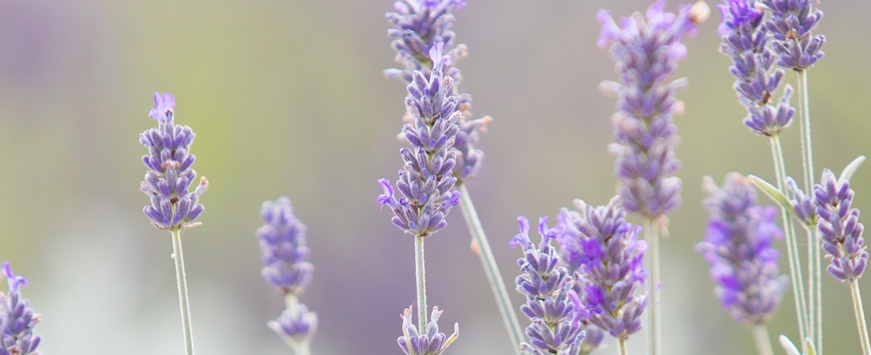 Wolds Way Lavender 1