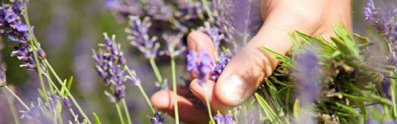 hand cutting lavender 1a