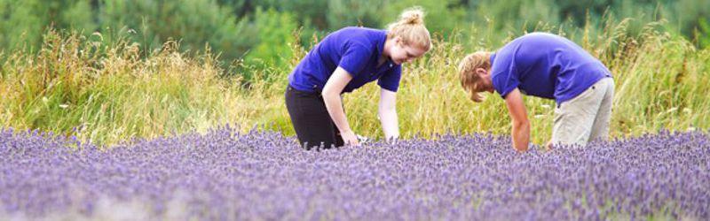 hand cutting lavender 2a