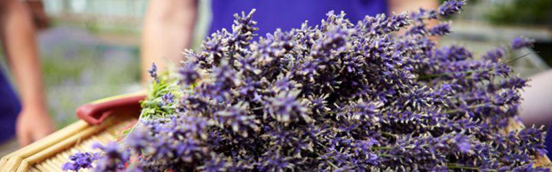 hand cutting lavender 5a