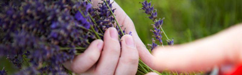 hand cutting lavender 6a