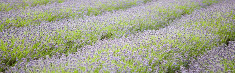 lavender fields 1a