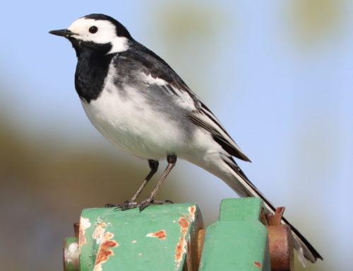 Wild Birds – Pied Wagtail