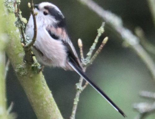 Wild Birds – Long tailed Tit