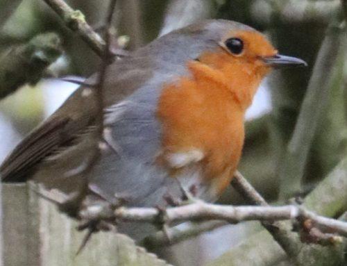 Wild Birds – Robin