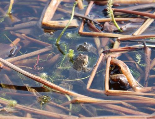 Wildlife – Toads