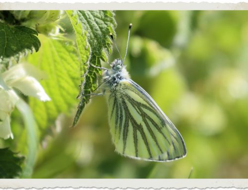 Butterflies – Green Veined